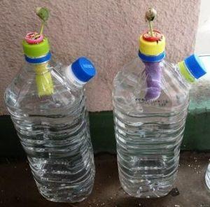 カカさんペットボトル水耕