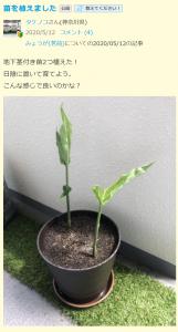 プランター栽培2(タケノコ様)